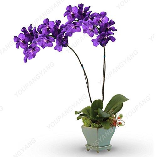 100 graines/pack japonais Radiata Seeds Aigrette Orchid Seeds espèces du monde Orchidée Rare Fleurs blanches Orchidee Jardin Plante Jaune