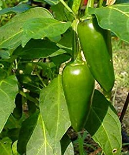 Germination Seeds ONLY NOT Plants: 100 Tam Jalapeno Pepper Seeds Chili Pepper Mild Heat