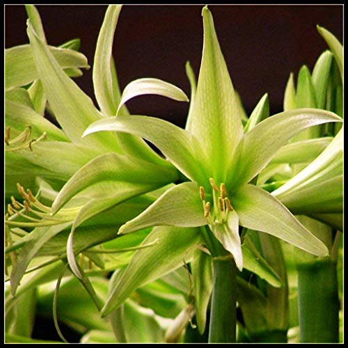 Amaryllis Flower Bulbs for Sale,Sweet,Many Colors,Decor Rare Growing Bonsai,Circumference 12-16 cm,Green,2 Bulbs