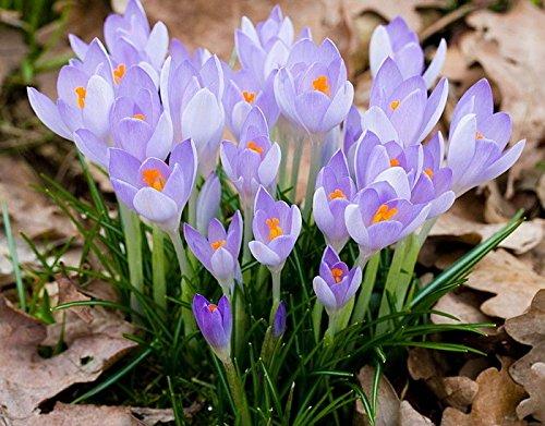 1bag = 50pcs Hot Sale crocus sativus japonais Seeds rainbow graines de fleurs Bonsai Tomate cerise Bio Maison & Jardin Livraison gratuite