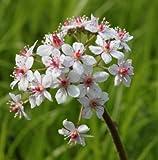 WFW wasserflora Schildblatt, rosa/Darmera peltata - Peltiphyllum peltatum im 9x9 cm Topf