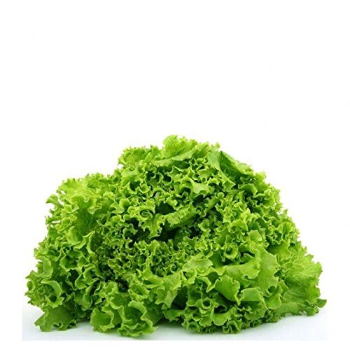 Green Ice Leaf Lettuce Seeds, 1000 Heirloom Seeds Per Packet, Non GMO Seeds
