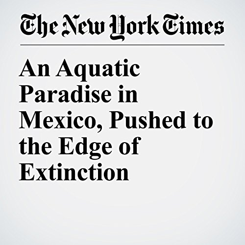 An Aquatic Paradise in Mexico, Pushed to the Edge of Extinction copertina