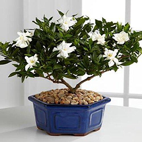 Gardenia Seeds (Cape Jasmine) -DIY jardin en pot Bonsai, étonnante odeur et de belles fleurs - 5pcs / lot