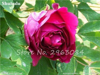 10 pièces rares graines Pivoine chinoise plantation de fleurs et jardin Paeonia Suffruticosa Graines Indoor Bonsai Fleurs Graines 13 Plante