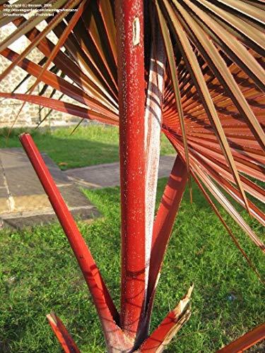 Generic Seeds: 5 frische Samen *** Latania LONTAROIDES *** RED Latan Palm ***