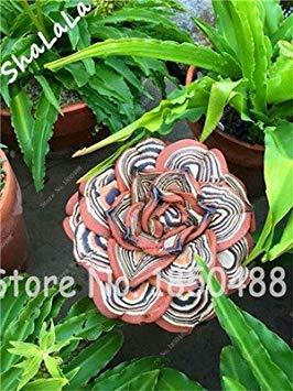 VISA STORE 100 Garten Gewächshaus Samen Seltene Sukkulenten Samen, Bonsai Pot Seeds, Indoor Samen absorbieren 1
