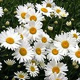 Shasta Daisy Seeds - Perennial Flower - Butterfly Nectar Non-GMO 3000 Seeds