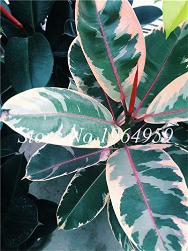 RETS Bonsai 50 PC chinesische Ficus benjamina Bonsai Pflanzen Blumen Topf Bonsai Variety komplette Hausgarten-Anlagen Easy Grow: 2