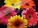 seme gerbera, piante bonsai semi di fiori al coperto, 50pcs / famiglia e perenne garde