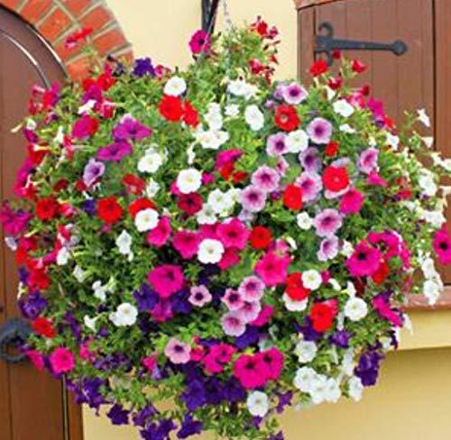 Tomasa Samenhaus- 200pcs Hänge-Petunien,Garten Gefüllte Hänge-Petunien Winterhart Blumensamen mehrjährig Blumentöpfen samen für Hausgarten,Balkon,Terrasse