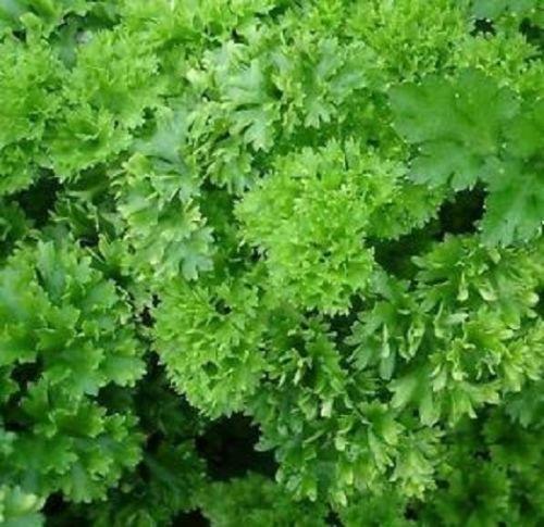 Persil Frisé mousse « Petroselinum crispum » 200 graines
