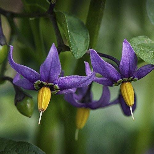 Bittersweet Nightshade Seeds (Solanum Dulcamara) Packet of 30 Seeds