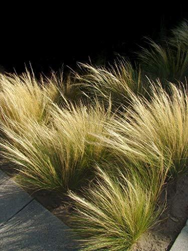 Mexikanisches Federgras Pony Tails - Stipa tenuissima - 200 Samen