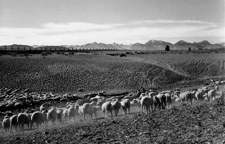 The Poster Corp Ansel Adams – Flock in Owens Valley California 1941 Kunstdruck (30,48 x 45,72 cm)