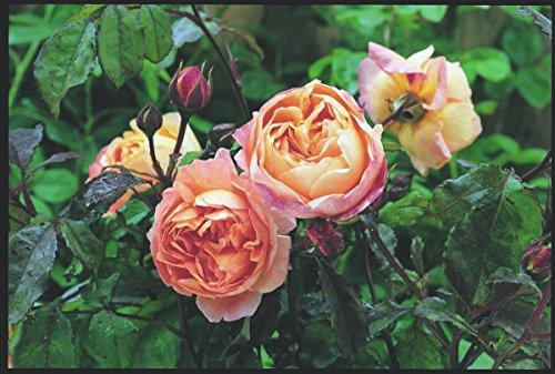 'Lady Emma Hamilton' (R), Englische Rose in A-Qualität, Wurzelware