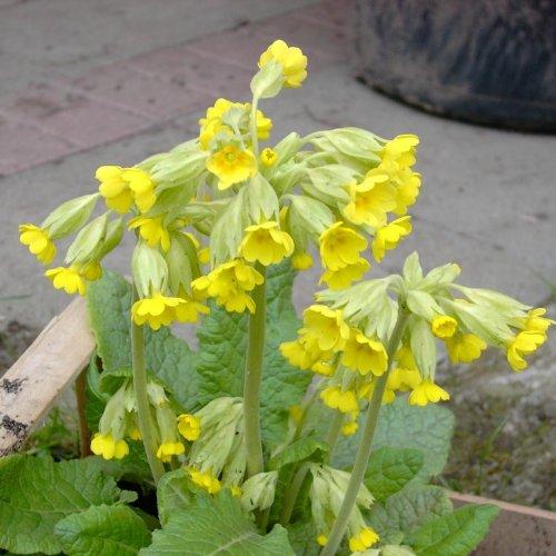lichtnelke - Schlüsselblume (Primula veris) GELB
