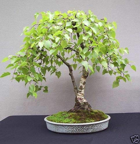 FERRY HOCH KEIMUNG Seeds Nicht NUR Pflanzen: Birke Bonsai Seed Seed Kit