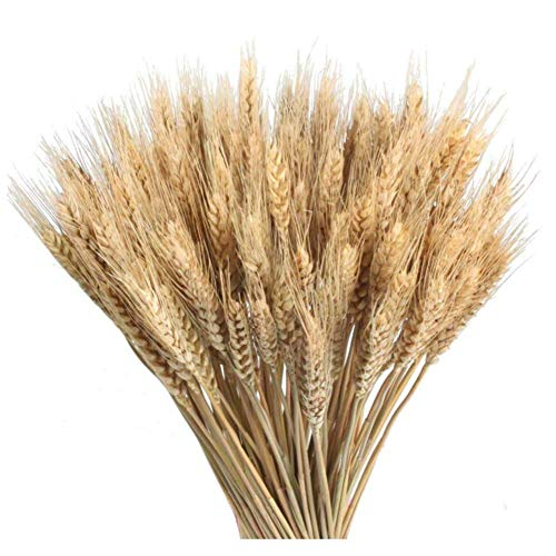 Country-living 100 Pcs Dry Wheat Grass Bouquet Natural Wheat Dried Grasses Bundle Dried Wheat Length 45cm (Wheat)