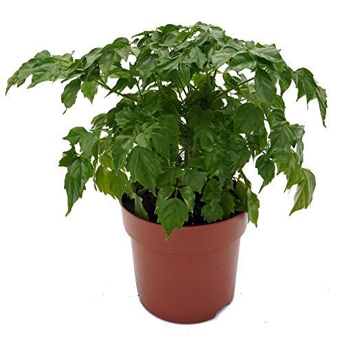 Zimmeresche, (Radermachera sinica), sehr pflegeleichte Zimmer und Büropflanze, (im 12cm Topf, ca. 22cm hoch)