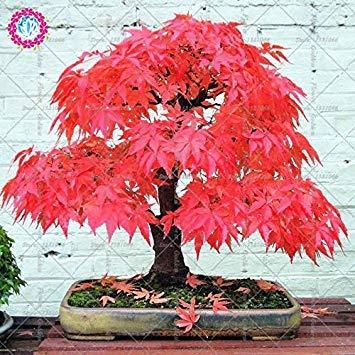 10pcs japonais érable rouge graines de plantes en pot 100% vrai Bonsaï Graines de culture facile pour la maison Balcon Jardin
