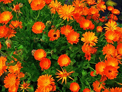 Derlam Samenhaus-100 Pcs Ringelblume Blumensamen mischung Goldblume mehrjährig winterhart Bio Blumen Saatgut für Garten