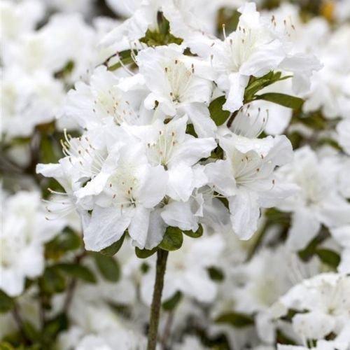 Japanische Azalee 'Diamant Weiß' -R- 2 L Topf gewachsen