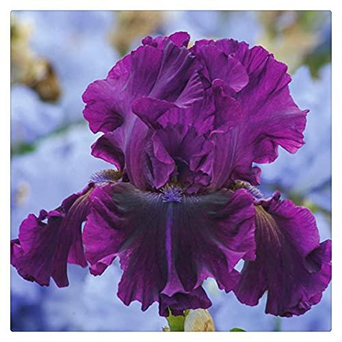 Schwertlilie Pflanze,Iris...