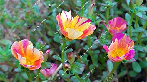 Portulaca Seed, Moss-rose Pourpier Plantes d'intérieur Fleurs doubles semences Balcon et cour Bonsai Seed Le taux bourgeonnant 95% 120 Pc 9