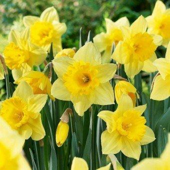 Soteer 100 Stück Narzisse Samen Blumensamen Duftend Blumenzwiebel Saatgut für Barkon, Garten winterhart (12)