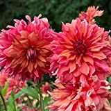 Dalias bulbos,FloracióN Larga Hermosa Y Hermosa FloracióN,Parece haber una especie tan rara-1,5bulbos