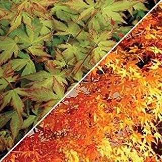 (2 Gallon) Katsura, Japaneses Maple- Fantastic Pale Orange-Yellow Spring Foliage which Gradually Fades to a Medium Green in Early Summer. Excellent Tree for Small Gardens and Large Patio containers.
