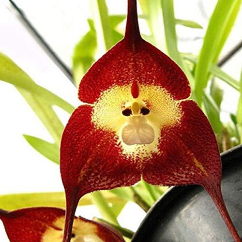 20 PCS Seltene Orchideen-Pflanzen AFFE-Gesichts-Orchideen-Blumen Pflanzen Garten Bonsai Topfpflanzen Startseite Zier Bonsai Tropfen JY: Style 3