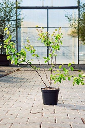 Echte Felsenbirne 40-60 cm Strauch für Sonne-Halbschatten Heckenpflanze grünes Laub Gartenpflanze winterhart 1 Pflanze im Topf