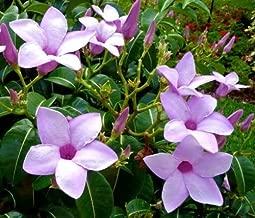 50 Seeds Cryptostegia grandiflora, Rare Rubber Vine Purple allamanda Flower
