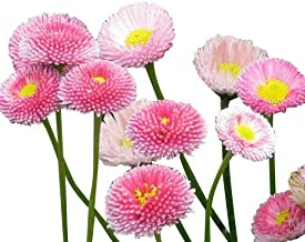 Best english daisy lawn Reviews
