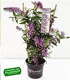 BALDUR Garten Kletternde Buddleia Schmetterlingswand®,1 Pflanze Sommerflieder Schmetterlingsflieder Schmetterlingsstrauch Zierstrauch, 1 Pflanze Buddleja Hybride