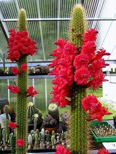50Pcs Samen Kakteensamen Rote Blumen-Samen Sukkulenten Samen für Hausgarten-Blumen-Samen: 2