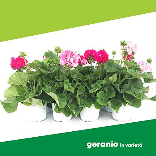 Geranio in varietà (6 PIANTE) - Fiori NON commestibili - Azienda agricola Carmazzi