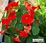 Nasturtium Empress of India Flower Seeds, 50 Heirloom Flower Seeds Per Packet, Non GMO Seeds, Isla's Garden Seeds