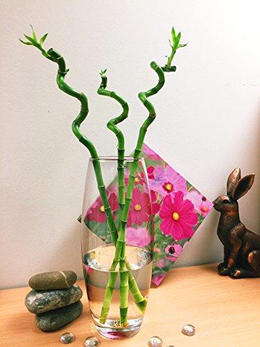 1Spirale gerade Lucky Bambus in Hoch Glas Vase