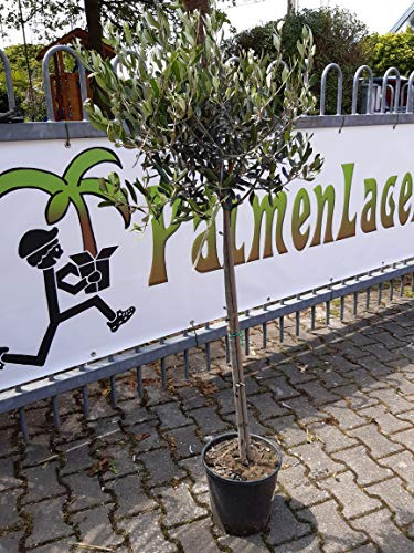 [Palmenlager] Olea europea - Olivenbaum - Hochstamm 160 cm