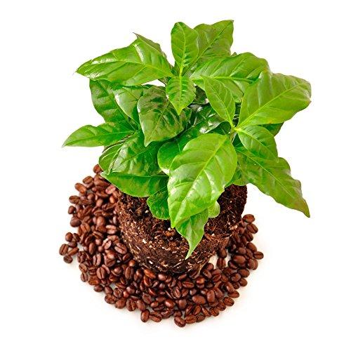Café arabe - 6 graines