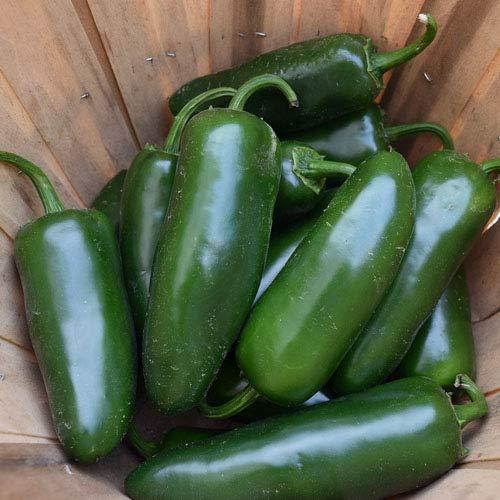 Jalapeno - 25 x Samen mittelscharfe Chili in 100% Natur-Qualität aus Portugal zum Grillen, Braten, Füllen - Massenträger der mexikanischen Küche