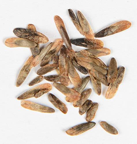 Amerikanischer Amberbaum Liquidambar styraciflua 90 Samen