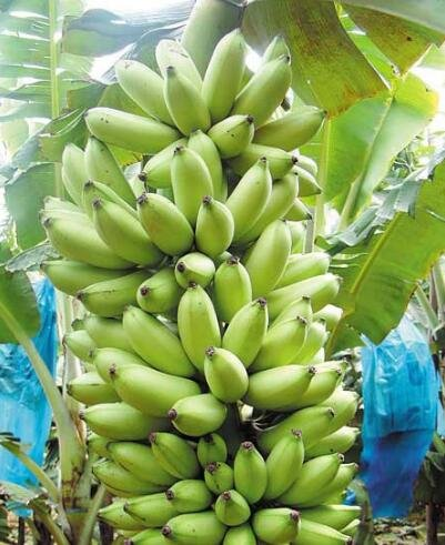 100 pcs Graines de bananes, arbres fruitiers nains, goût du lait, en plein air vivaces fruits semences pour les plantes de jardin 7
