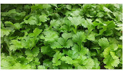 HERB - Coriander - 1000 Seeds - Organic (for Germinating)