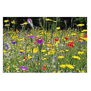 Cornfield Annual Seed Mix Wildflower Native UK Delux Mix 9 Species MeadowMania Sow at 2 Gram to The sq metre