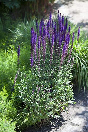 Salvia nemorosa 'Blauhügel' Garten-Blüten-Salbei Staude im Topf gewachsen