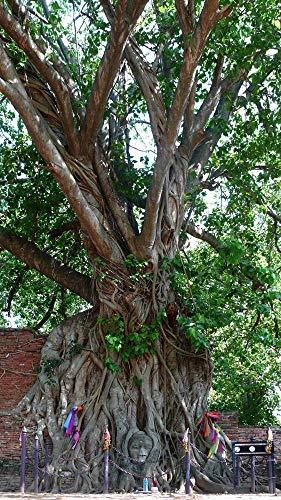 Portal Cool Ficus religiosa 20 semillas, Fig- Sagrado único Bonsai
